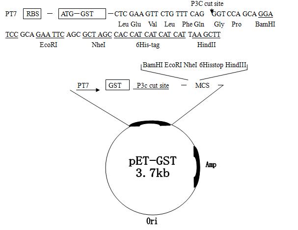 pET-GST质粒图谱