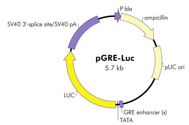 pGRE-Luc质粒图谱