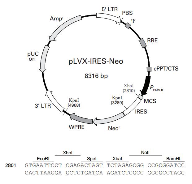 pLVX-IRES-Neo质粒图谱