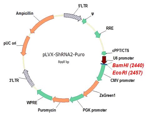 pLVX-shRNA2-Puro质粒图谱