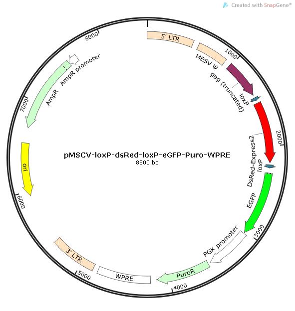 pMSCV-loxp-dsRed-loxp-eGFP-Puro-WPRE质粒图谱