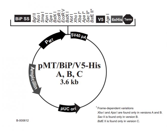 pMT/BiP/V5-His A, B, & C 质粒图谱
