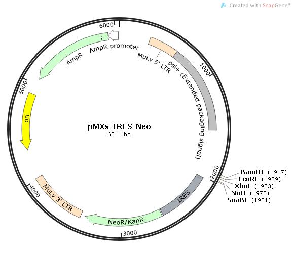 pMXs-IRES-Neo质粒图谱