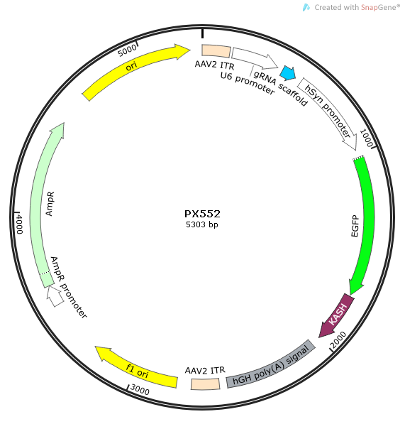 PX552质粒图谱